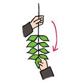 3.左手は根元を、右手は葉を支えるように持ち替え、葉が手前にくるように玉ぐしを回転させます。